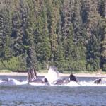 Feeding Humpback Whales in Juneau, Alaska