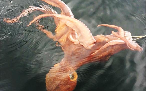 HookedOctopus
